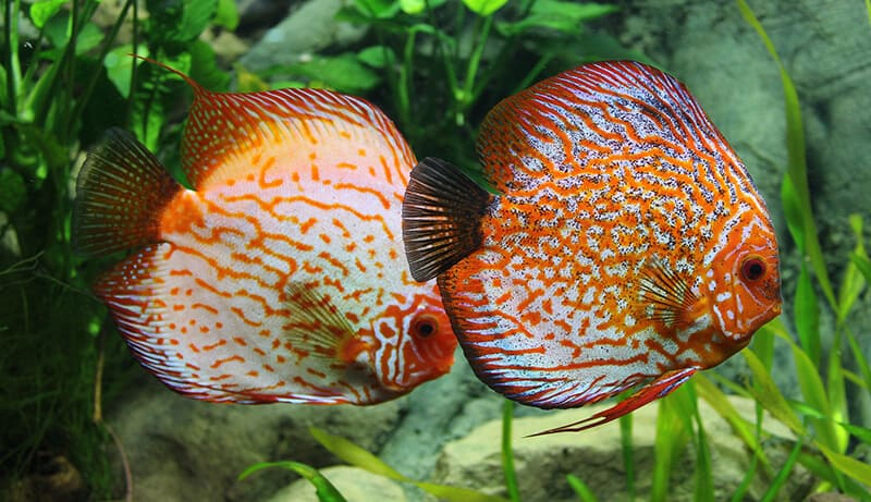 Discus fish care ultimate guide