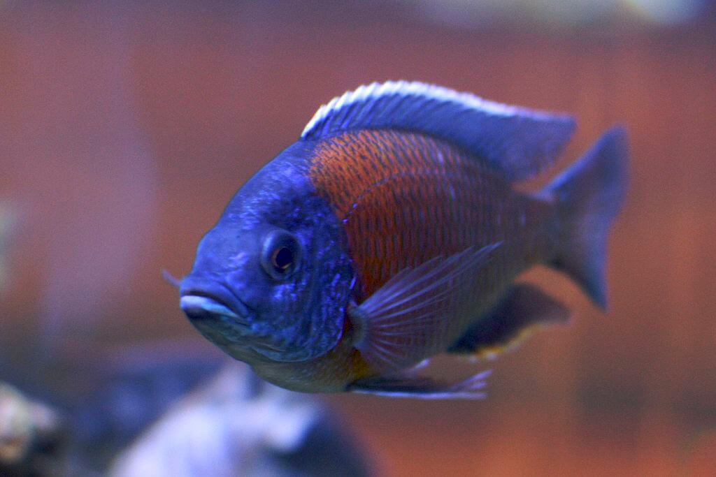 African cichlids from Malawi lake