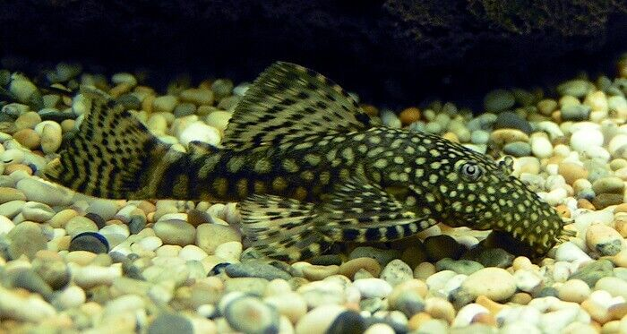 Bristlenose catfish