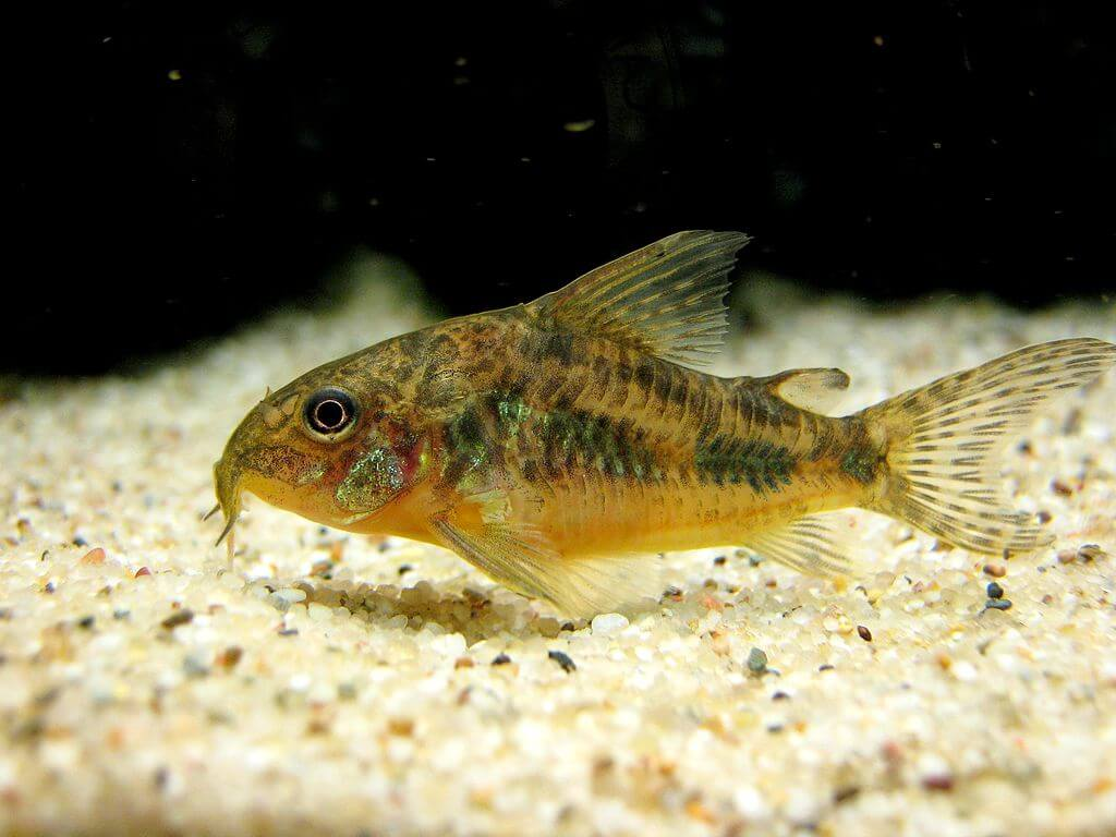 corydoras catfish care guide