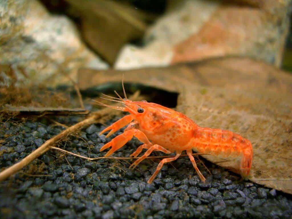 dwarf crayfish (Cambarellus genus)