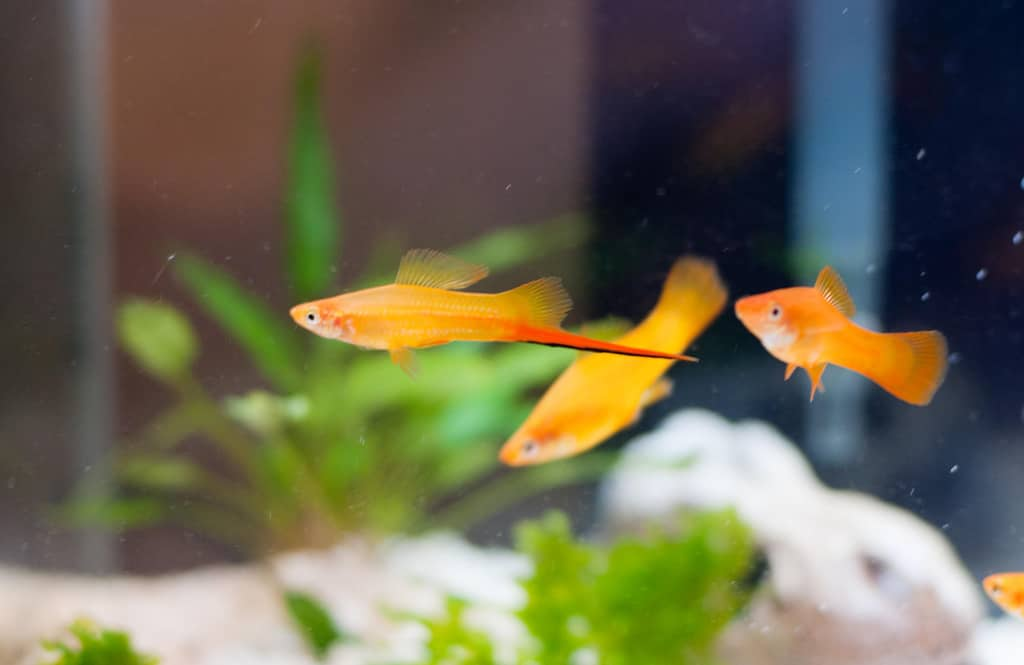 swordtail fish care guide