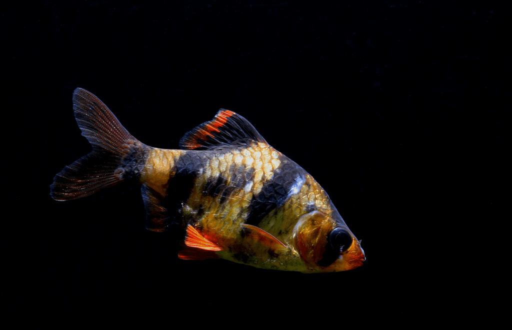 Tiger Barb /Puntius tetrazona