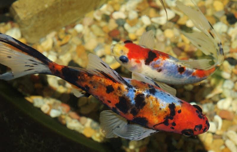 Shubunkin Goldfish Perfect Guide for Beginners