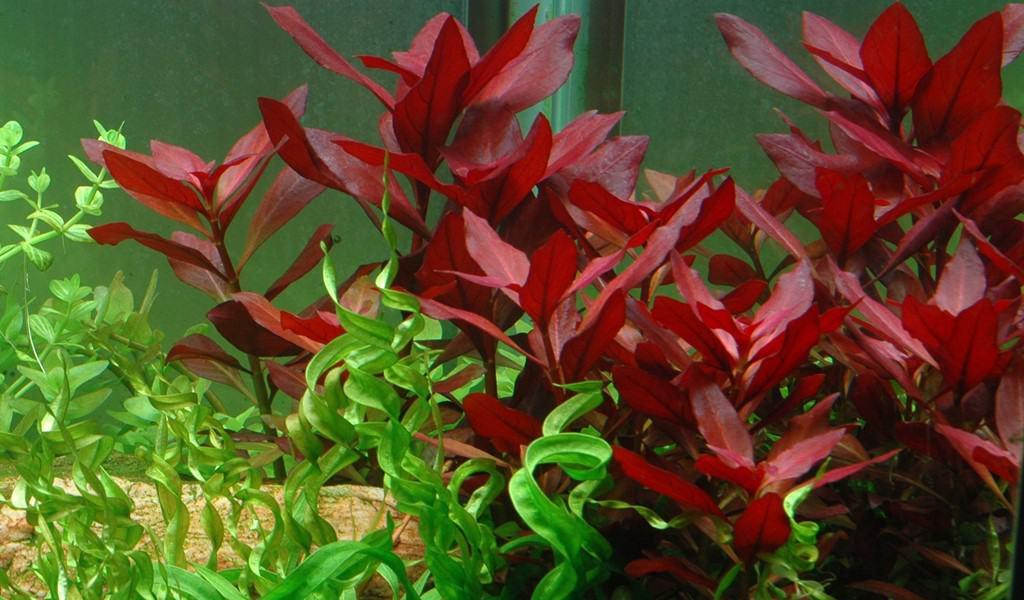 9 Red Aquarium Plants For Aquascape 2020