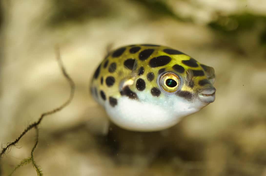 7 Freshwater Puffer Fish