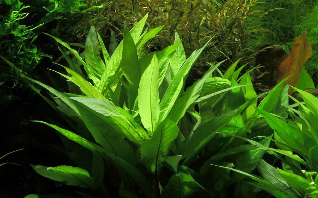Hygrophila Corymbosa Guide