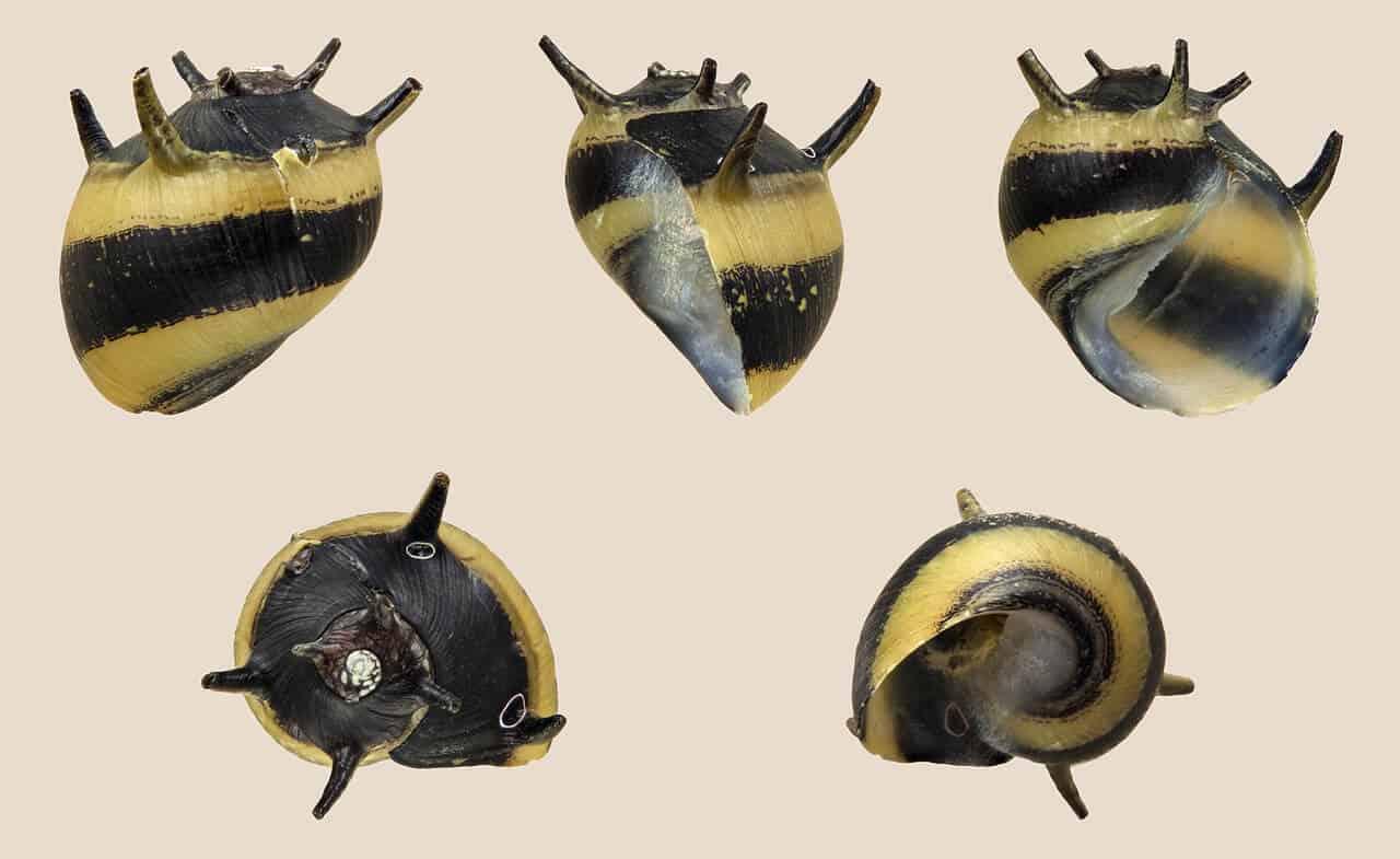 Horned Nerite Snail (Beginner's Guide)